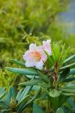 Big pink azalea bush in the garden. stock image