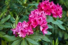 Big pink azalea bush in the garden. Season of flowering azaleas. royalty free stock images