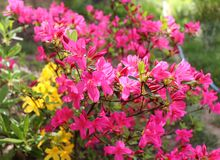 Big pink azalea or rhododendron in a organic garden. Season of flowering azaleas . Azaleas are shade tolerant flowering. Big pink azalea or rhododendron in a Royalty Free Stock Photos