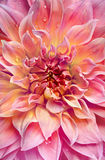 Big pink dahlia background Royalty Free Stock Photo