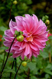Big pink dahlia Stock Images