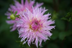 big pink dahlia in summer in a garden in natural light in color royalty free stock photography