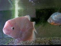 Big pink fish in tank Stock Photo