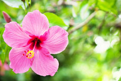 Big pink flower hibiscus Stock Images