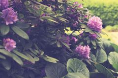Big pink flowers and great lights, Large leaves and green background stock photos