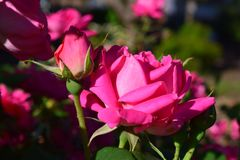 Big Pink Full Rose bloom and Rose bud stock photos
