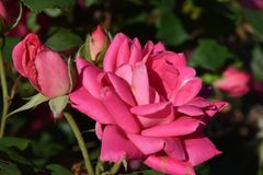Big Pink Full Rose blooms and buds stock images