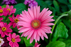 Big pink gerbera Stock Images