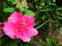 Big pink hibicus Royalty Free Stock Photo