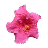 Big pink hibiscus flower Royalty Free Stock Photo