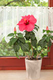 Big pink Hibiscus flower in the pot on window Stock Images