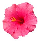 Big pink hibiscus flower after rain isolated on white background. Big pink hibiscus flower with a small drops of rain isolated on white background. Side view Royalty Free Stock Photos