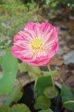 Big pink lotus in clay pot Royalty Free Stock Photos
