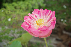 Big pink lotus in clay pot Royalty Free Stock Photography