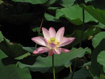 Big pink lotus flower among green leaves in a pond. / stock image