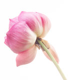 Big pink lotus flower on white ground Stock Photos