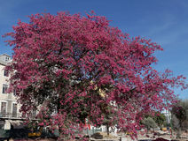 Big pink magnolia tree Stock Image