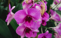 Big pink orchid flowers with green leaf Royalty Free Stock Photos