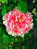 Big pink peony flower in full bloom Royalty Free Stock Images