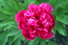 Big pink peony flower Stock Images
