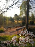 Cherry blossom season in spring royalty free stock photography