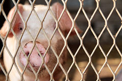 Big pink pig behind fence. Local farm pig saying hello to the camera Royalty Free Stock Photo