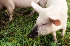 Pink pig. Dirty nose. Green grass Royalty Free Stock Image