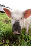Pink pig. Green grass. Dirty nose Royalty Free Stock Images