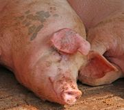 Big pink pig in the pigsty of the farm in the countryside Stock Photos