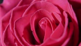 Big pink rose Bud in macro. Mode stock footage