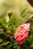 Big pink rose Stock Photos