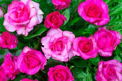 Big pink rose flower with drop of water and green background Royalty Free Stock Image