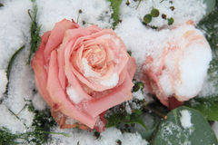 Big pink rose on snow Stock Image