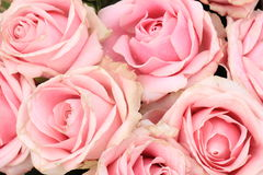 Big pink roses Stock Photography