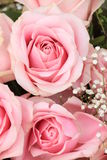 Big pink roses Royalty Free Stock Photo