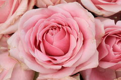 Big pink roses Stock Images