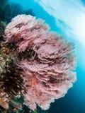 Big Pink Sea Fan, Raja Ampat stock photo
