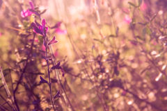 Big pink Texas sage Royalty Free Stock Images