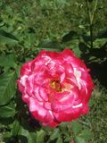 Big pink with white rose in bloom Royalty Free Stock Photo