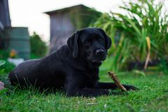 Black labrador retriever lays on the green grass stock image