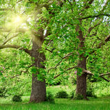Big plane trees and sunshine Stock Photo