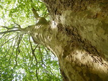 Big planetree. A huge planetree with trunk, bark and leaves Royalty Free Stock Image