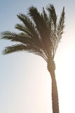Big plant palm tree beautiful photo. Concept of holiday and summer Royalty Free Stock Photography