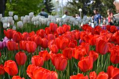 Big plantation of red tulips on sunny day in spring. Manufacture of growing flowers. Great floral exhibition in park. Close up stock photos