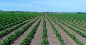 Big plantation of strawberries, strawberry field, large well-kept strawberry field.  stock footage