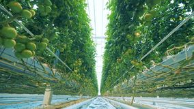 Big plants in a greenhouse. Plants with tomatoes grow in a spacious greenhouse stock footage