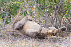 Big playful male Lion lying down on the back Stock Photo