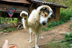 Playful Mountain dog extending his paws. Big and playful sheppard mountain dog stock photo
