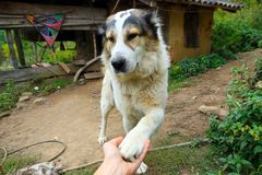 Playful Mountain dog extending his paws Royalty Free Stock Photography