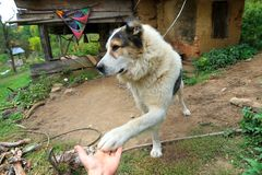 Playful Mountain dog extending his paws Royalty Free Stock Image